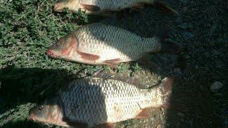 Ловля карпа, карася на горох. Днестр/Catching carp,and crucian in peas.River Dnister.