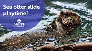 Sea Otter Slide Playtime!