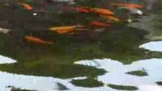 竹駒神社の鯉のぼりと錦鯉・金魚 thumbnail