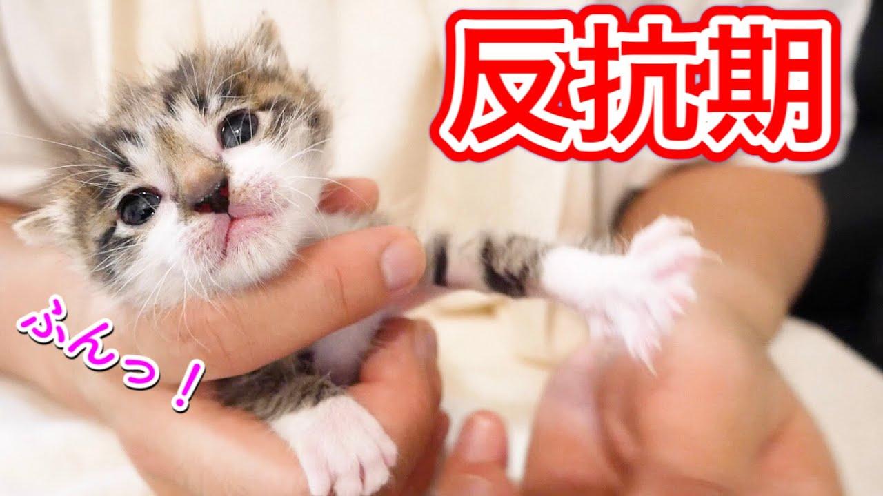 生後20日目の赤ちゃん子猫の早すぎる反抗期!?【保護猫】
