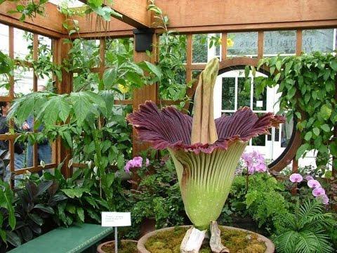 комнатные растения - аморфофаллус