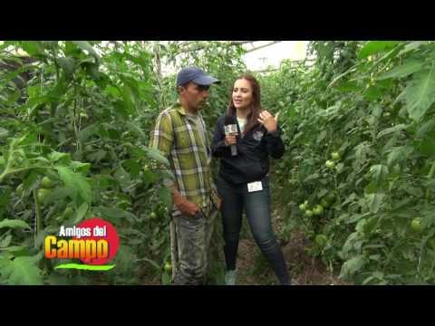 AMIGOS DEL CAMPO. Tomate Organico