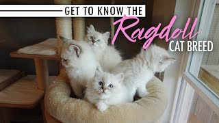 Get to Know the Ragdoll Cat Breed