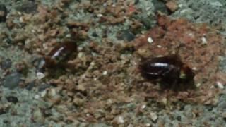 マキエサのおこぼれを貪っているゴキブリ thumbnail