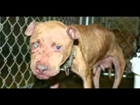 Pit Bull Statistics and Facts
