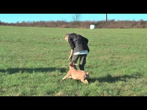 American Bully - our training tips