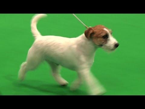 City of Birmingham Dog Show 2016 - Best Puppy in Show