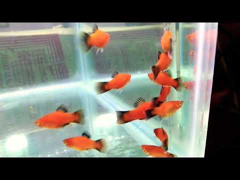 Juz Platties Moon Fish|| Xiphophorus Maculatus|| Falcon Aquarium Services||@guppy_molly_platy_ika