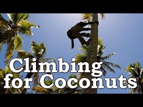 Climbing a Coconut Tree With No Tools   Dominican Republic   Grand Paradise Samana