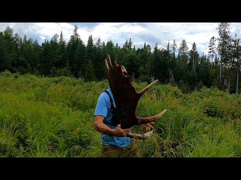 MOOSE SHEDS IN JULY!!! | Shed Hunting Tour 2020