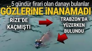 Rize'de Kaçan Kurbanlık Dana Trabzon'da Denizde Yüzerken Bulundu!