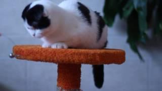 Котята шотландские вислоухие. Продажа!