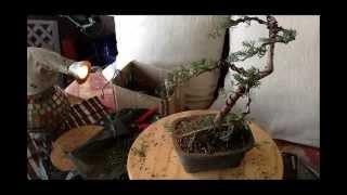 SoloBonsaiRoma.it - Come trasformare una pianta in bonsai