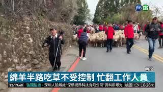 南投清境一年一度的奔羊節熱鬧登場,108頭綿羊大軍首次走上台14甲線,從...