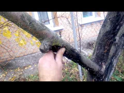 Вопрос: Почему на здоровых деревьях гибнут целые ветки с плодами и листьями?