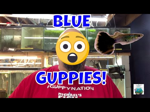 BLUE GUPPIES! Fish Room Vlog
