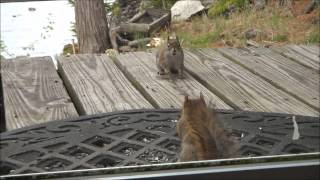 Squirrel Fight May 11 2012