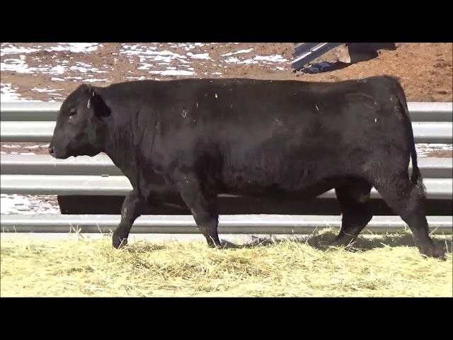Connealy Angus Lot 499