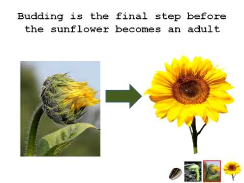 The Life Cycle Of A Sunflower Youtube