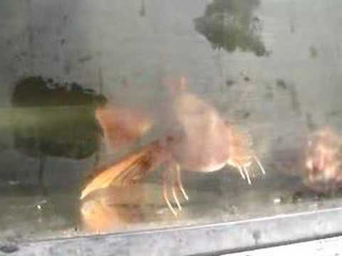 Weird fish with spiny legs and wings youtube for Wings and fish