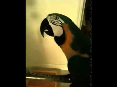 Cursing macaw