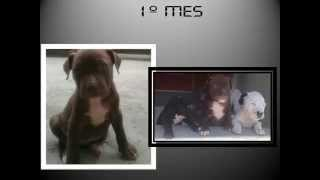 Pitbull Red nose Desarrollo