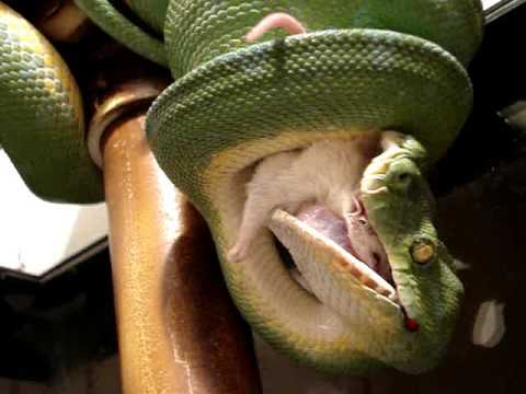 Sorong Green Tree Python Adult Male STRIKE & Eating!  - MERLIN!