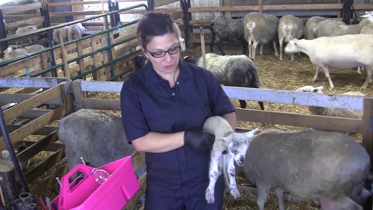 Injections aux agneaux à l'agnelage