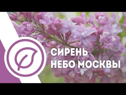 Сирень Небо Москвы. Махровая, хамелеон ( голубоватая, лиловая, мажентовая). Лучшие сорта сирени