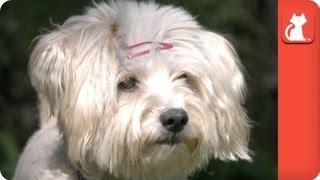 Pregnant Maltese Abandoned At Shelter - Tails Of Hope