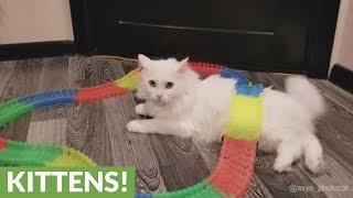 猫のお腹の上を走るミニカーに対しきょとん顔の猫