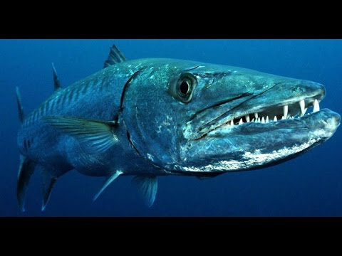 Facts: The Great Barracuda