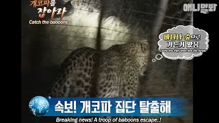 breaking-news-a-troop-of-baboons-escape-the-only-witness-was-the-leopard