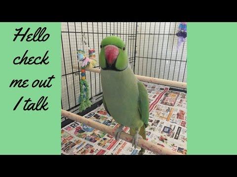 Talking Parrot Indian Ringneck-4yrs old- Parakeet