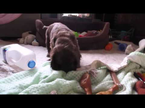 """Shelly"" Sussex Spaniel Puppy ""Hyper Mode"""