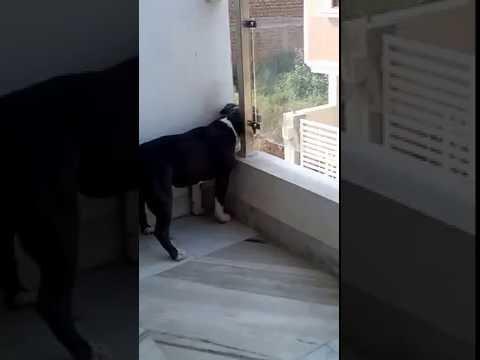Pitbull barking ferociously
