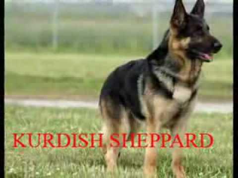 German Shepherd Dog Fight German Shepherd Dog K9...