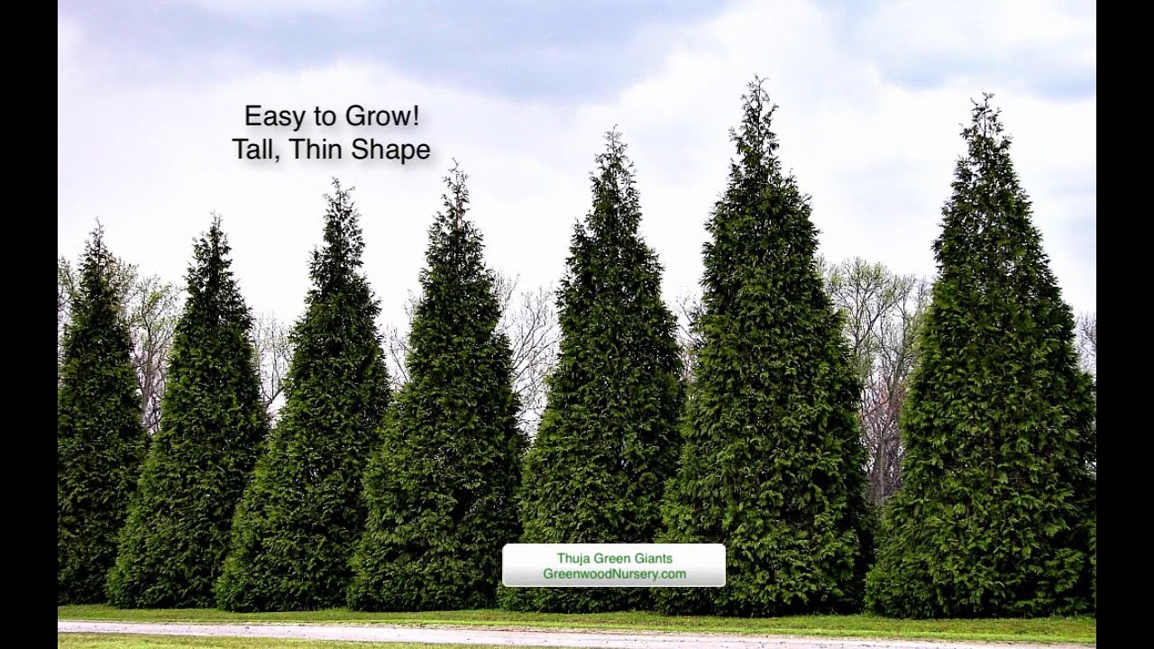 Planting And Growing The Thuja Green Giant Arborvitae Greenwood Nursery