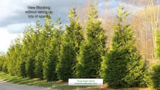 Planting Thuja Green Giant Hedge