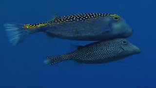 Underwater Mating - Battle of the Sexes in the Animal World - BBC Earth - BBC