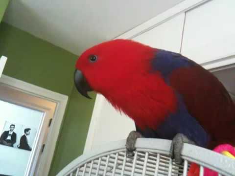 Mumbling Eclectus parrot