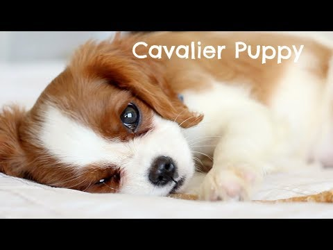 CAVALIER PUPPY CHEWING | Herky The Cavalier