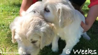 Beautiful Goldendoodle Puppies ~ 6 Weeks