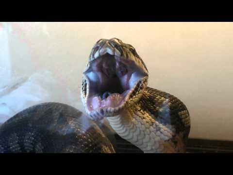 snake swallows mouse