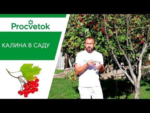 Почему ягода КАЛИНА так нужна для Вашего здоровья.