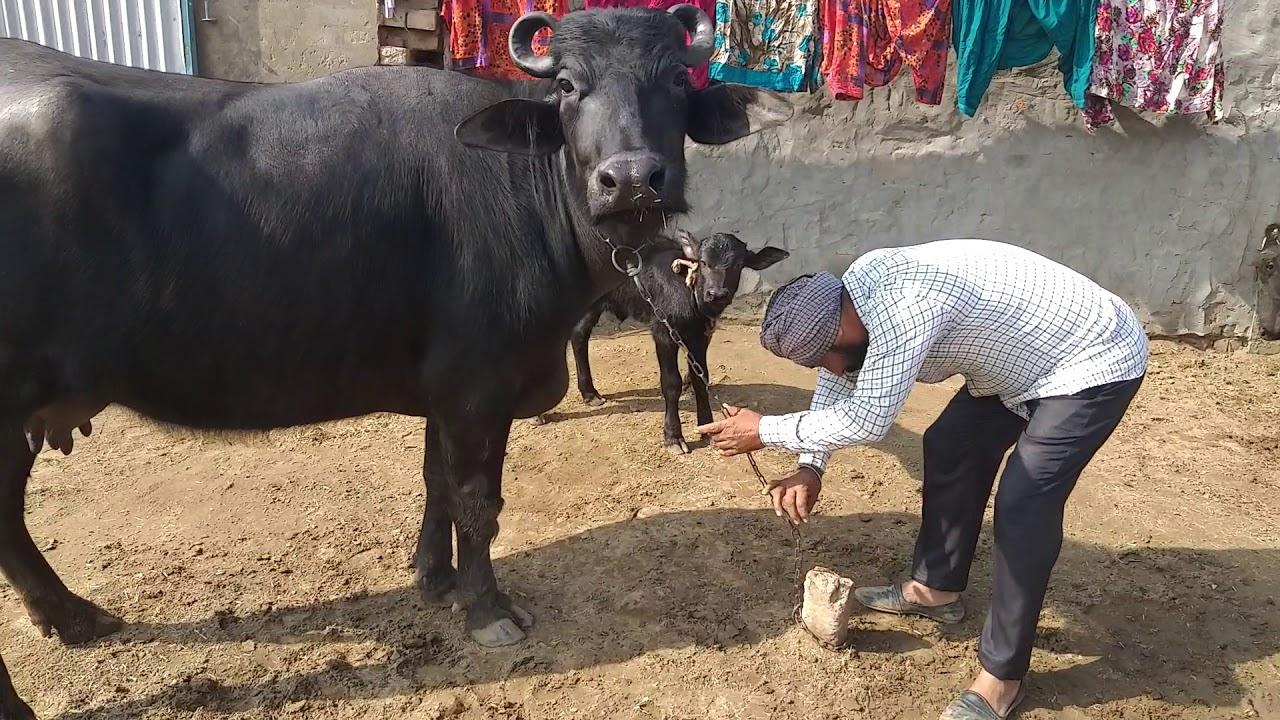 Churchak ke sale purchaser murrah buffalo(sale