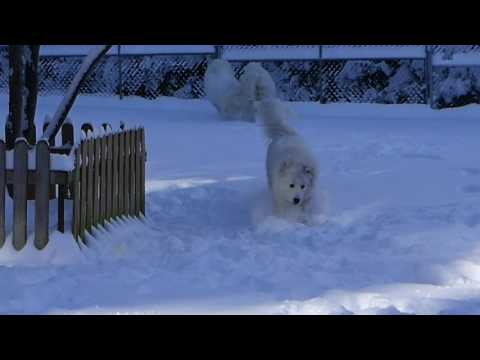 Great Pyrenees - FUN playing in the 1st snow of 2016 Winter