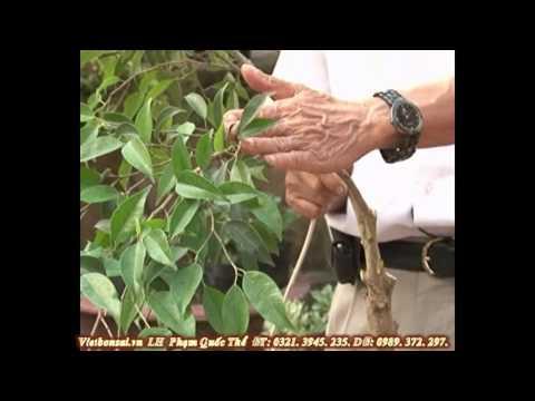 Vietbonsai.vn: Kỹ thuật tạo kiểu cành cây cảnh - P2