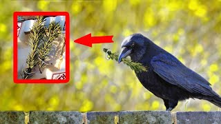 The man has been feeding the crow family for 4 years, and one day the birds surprised him with an un