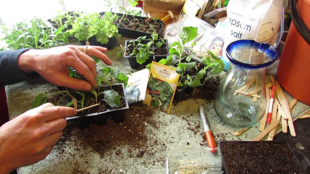 How and when to seed start kale collard greens indoors for Indoor gardening expo 2014